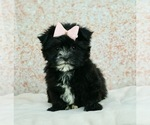 Puppy 5 Morkie