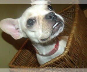 French Bulldog Dog for Adoption in PATERSON, New Jersey USA