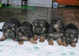 German Shepherd Dog Puppy for sale in MOSES LAKE, WA, USA