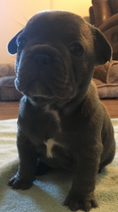 French Bulldog Puppy For Sale in GREENWOOD, CA