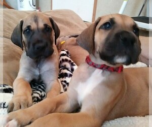 Great Dane Puppy for Sale in CONWAY, South Carolina USA