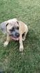 Cane Corso Puppy For Sale in BULVERDE, TX
