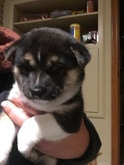 Shiba Inu Puppy For Sale in INVER GROVE HEIGHTS, MN