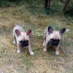 French Bulldog Puppy For Sale in WEST PALM BEACH, FL, USA
