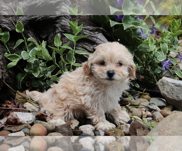 Medium Photo #3 Shih-Poo Puppy For Sale in SHILOH, OH, USA