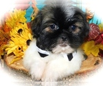 Small #4 Shih Tzu-Shih-Poo Mix
