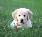 English Cream Golden Retriever  Puppy For Sale in ARCHBOLD, OH, USA