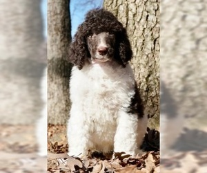 Poodle (Standard) Puppy For Sale in WARSAW, IN, USA