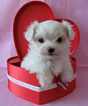 Maltese Puppy For Sale in MOORESVILLE, NC