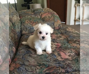 Maltese Puppy for sale in SYLVA, NC, USA