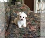 Maltese AKC Female Puppy For Sale