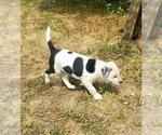 Small #2 Bernese Mountain Dog Mix