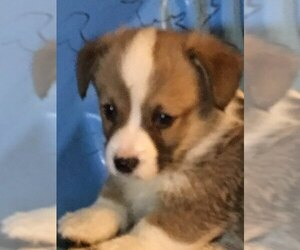 Pembroke Welsh Corgi Dog for Adoption in FLORA, Indiana USA