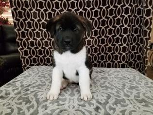 Akita Puppy For Sale in CORONA, CA, USA