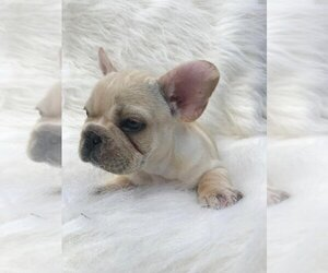 French Bulldog Puppy for sale in CASTLE ROCK, CO, USA