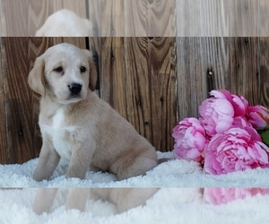 Labrador Retriever Puppy for Sale in SUGARCREEK, Ohio USA