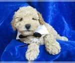 Small #8 Poodle (Miniature)