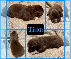 Australian Shepherd Puppy for sale in VAN, TX, USA