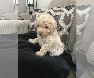 Poodle (Miniature) Dog for Adoption in MOSES LAKE, Washington USA