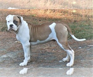 American Bulldog Puppy for sale in OPELIKA, AL, USA