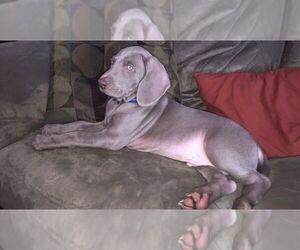 Weimaraner Puppy for sale in GLEN ROCK, PA, USA
