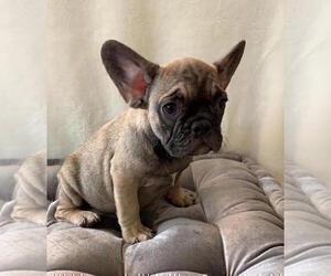 French Bulldog Puppy for Sale in CHARLESTON, South Carolina USA
