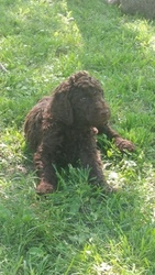 Poodle (Standard) Puppy For Sale in EAGLEVILLE, TN