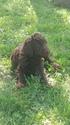 Poodle (Standard) Puppy For Sale in EAGLEVILLE, TN