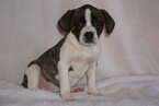 Beagle-English Bulldog Mix Puppy For Sale in FREDERICKSBG, OH, USA