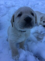 Great Pyrenees Puppy For Sale in OAKLAND, OR, USA