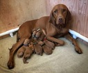 Vizsla Puppy For Sale in NEWHALL, CA, USA