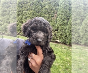 Goldendoodle Puppy for sale in SPOKANE, WA, USA