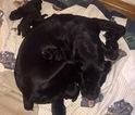 Puppy 2 Cane Corso