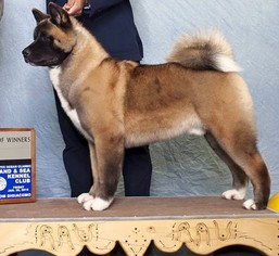 Akita Puppy For Sale in DREXEL HILL, PA, USA