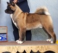 Great Male Akita Available