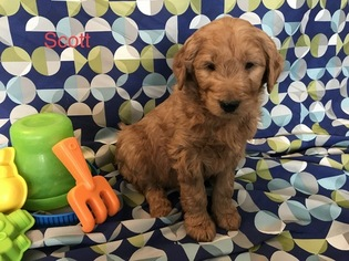 Goldendoodle Puppy For Sale in WOODBURN, IN, USA