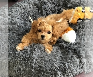 Maltipoo Puppy for sale in BOYDS, MD, USA