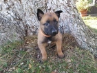 Belgian Malinois Puppy For Sale in CORNING, CA, USA