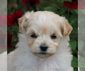 Maltipoo Dog for Adoption in SUNBURY, Pennsylvania USA