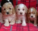 Small Cavalier King Charles Spaniel-Poodle (Toy) Mix