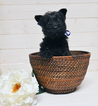 Scottish Terrier Puppy For Sale in CHESWICK, PA