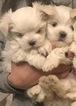 Maltese Puppies