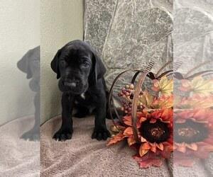 Great Dane Puppy for Sale in WEEKI WACHEE, Florida USA