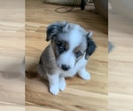 Miniature Australian Shepherd Puppy For Sale in GLOUCESTER, VA, USA