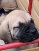 Mastiff Puppy For Sale in MBORO, TN, USA