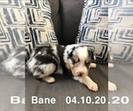 Puppy 6 Australian Shepherd