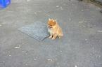 Pomeranian Puppy For Sale in TAUNTON, MA, USA