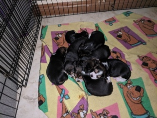 Beagle Puppy For Sale in SACRAMENTO, CA, USA