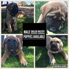 Mastiff Puppy For Sale in HESPERIA, CA