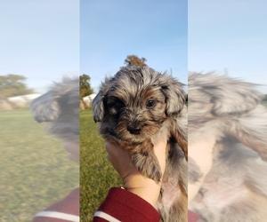 Shih-Poo Puppy for sale in ATLANTA, IN, USA